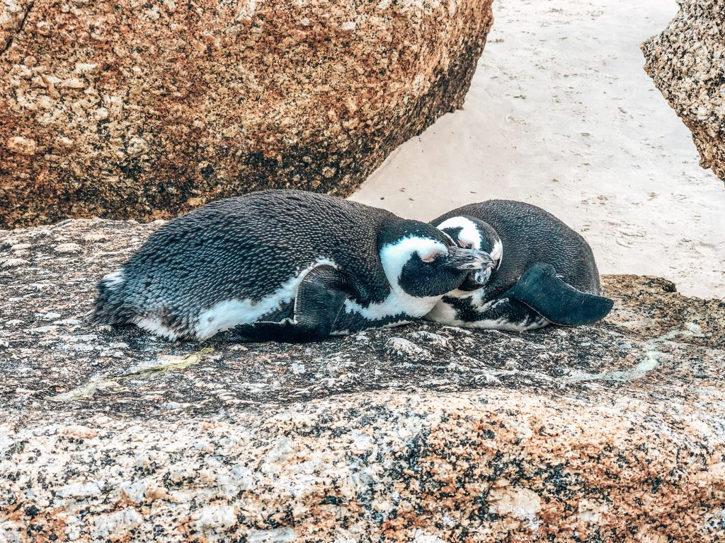 Snuggly penguins at Boulders Beach, Cape Town